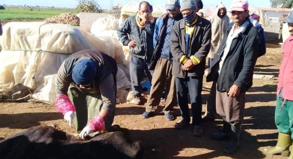 مرض غريب يتسبب في نفوق الأبقار بإقليم سيدي بنور