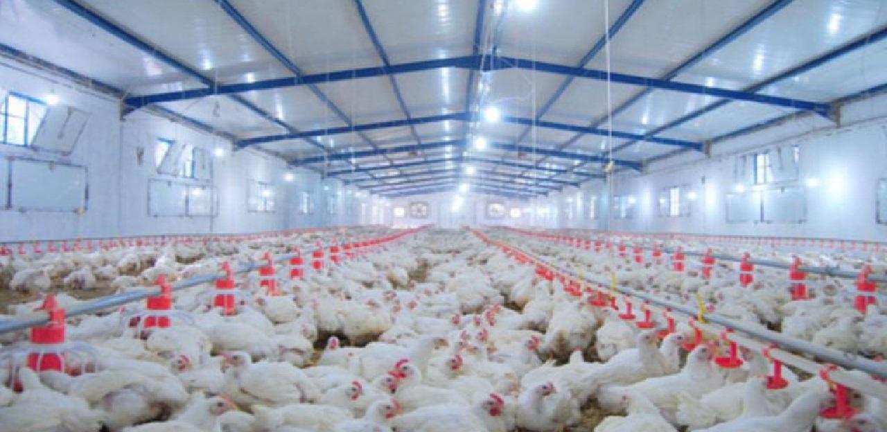 مربو الدجاج بين خطر الإفلاس أو البقاء رهائن للشركات المتحكمة في السوق