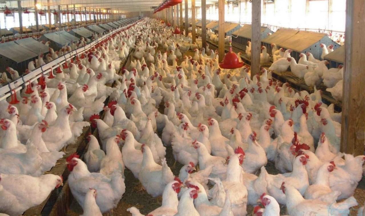 الجمعية الوطنية لمربي دجاج اللحم تستنكر في بلاغ لها
