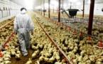 مربو الدواجن يدقون ناقوس الخطر من أنفلونزا الطيور