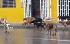 الكلاب الضالة تهدد ساكنة الحسيمة والمصالح المختصة تغض الطرف